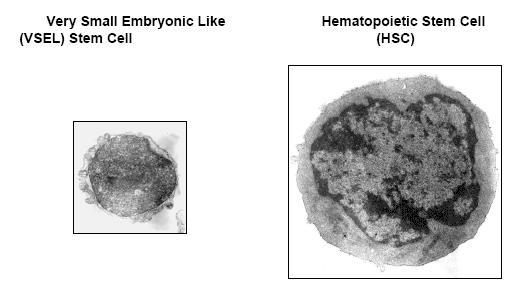 Very Small Embryonic Like Stem Cells, VSELSC (фото с сайта jpp.krakow.pl)